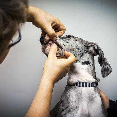 Eläinlääkäri tutkii koiran suuta.