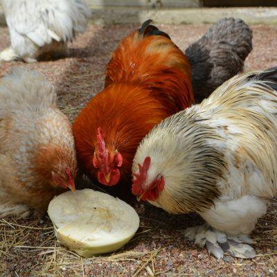 Kukot ja kana syövät kaalia