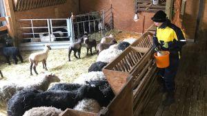 Katja Korpioksa delar ut mat åt får i olika färger