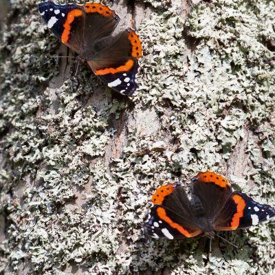 Kaksi amiraaliperhosta puun rungolla.