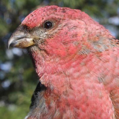 Väritykseltään punainen lintu lähikuvassa metsässä