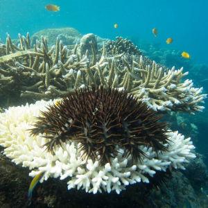En korallätande sjöstjärna, törnekrona, mumsar på en korall