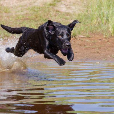 Noutakoira Repe vauhdikkaassa lennossa veden päällä