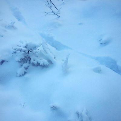 Suden jäljet pakkasaamuna sinisen hetken värjäämällä hangella Perhossa.