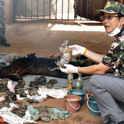 Tigerungar hittades i frys i tempel i Thailand.