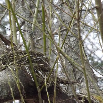 rastaan pesä puussa