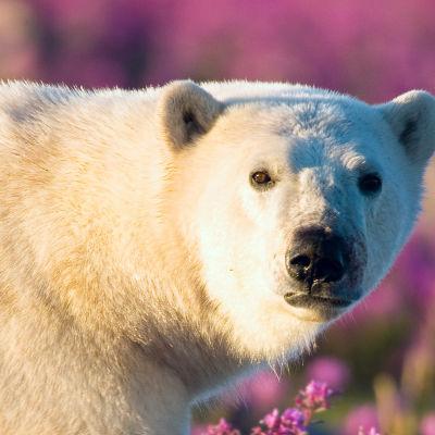 Hudson Bayn arktisen alueen kesä on kova koettelemus jääkarhuille ja niiden pennuille.