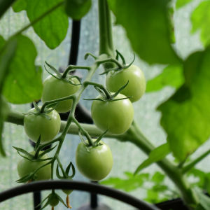 Tomaatteja ja kurkkuja vesiviljelylaitteissa parvekkeella.