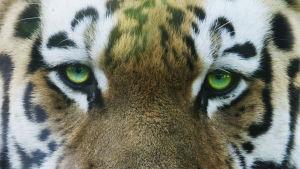 En tiger hane