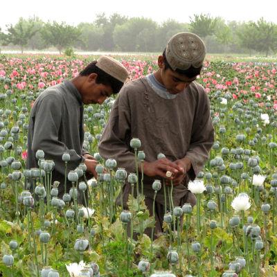 Två afghanska pojkar utvinner mjölk ur opiumvallmo, som ska förädlas till opium. I förgrunden redan skördade blommor, i bakgrunden ett fält av ljusröda opiumvallmon.