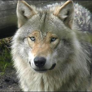 En varg