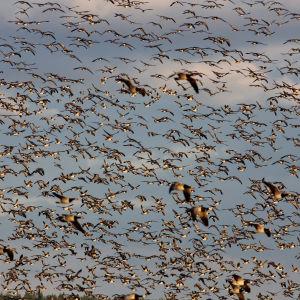 Stor flock med vitkindade gäss som flyger.