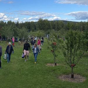 Ihmiset hakevat omenia Survon omenatarhalta Jyväskylässä.