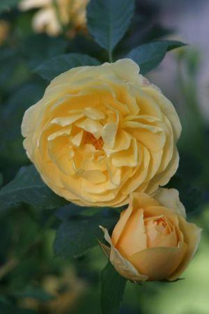 Den ros som har fått sitt namn efter engelsmannen Graham Thomas.