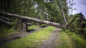 Omkullfallna träd i Karleby under stormen Salomon 8.6.2016