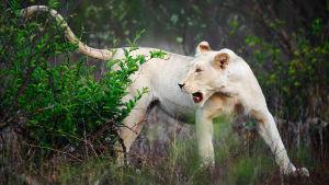 Avara luonto: Kaksi valkoista leijonaa, yle tv1