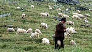 fåraherde