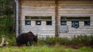 Karhukoju, jonka edessä karhu