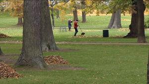 Höstlöv krattas i Brunnsparken.