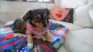 Koira sängyllä