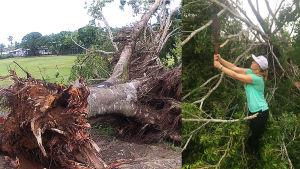 Ett omkullblåst träd och en bild på Julia Bäck som hugger av grenar på ett träd.