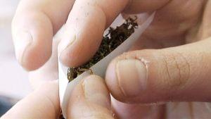 Händer på person som hanterar cannabis.