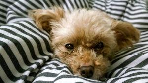 Hund i säng