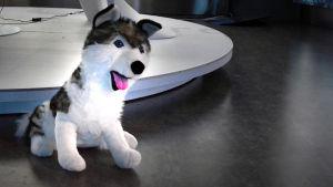Ett kramdjur som ser ut som en varg eller en husky.