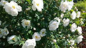 En buske fylld av vita midsommarrosor i full blom.