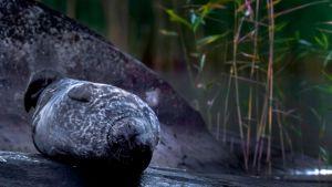Saimaannorppa lepokivellä syksyisissä maisemissa