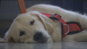 Hunden Rambo ger trygghet till åldringar i Sibbo