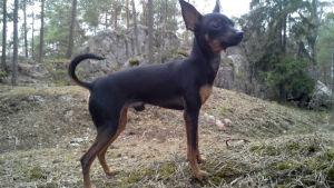 Den pragska råtthunden Rico. Prazský krysarík, eller pragsk råtthund, är en av världens minsta hundraser.
