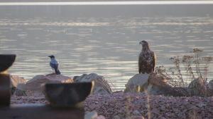 En kråka och en havsörn sitter vid stranden, i solnedgångsljus.