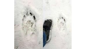 Vargspår fotade i snön.