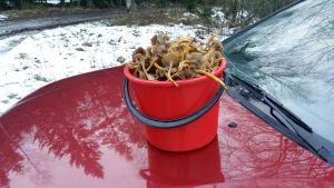 En röd hink helt full med trattkantareller, placerad på en röd bils motorhuv.