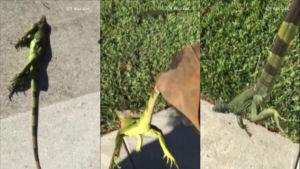 Tre bilder på frusna ödlor.