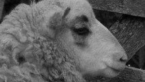 Lammas. Surullinen.