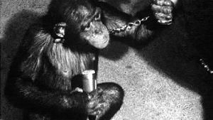 Simpanssi mikrofoni kädessä