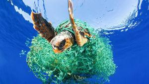 En sköldpadda har fastnat i plastskräp i havet.