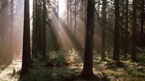Solljus sipprar genom trädgrenar i en grön sommarskog.