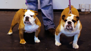 Kaksi englanninbulldoggia.