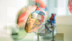 Anatomiamalli ihmisen sydämestä.
