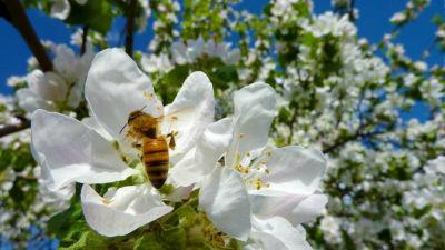 Mehiläinen pölyttää omenankukkaa.