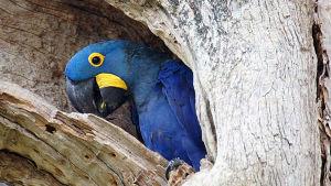 Maailman suurimpiin kosteikkoalueisiin kuuluvassa Brasilian Pantanalissa esiintyy harvinaisia papukaijoja.