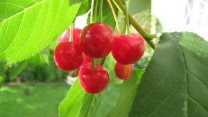 kirsikka, hapankirsikka
