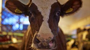 Kor i fähus.