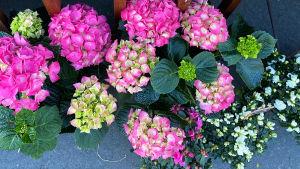 Bild på flera rosa hortensior som står på asfalt.