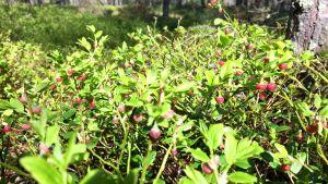 Blåbärsblom i mängder i mellersta Österbotten.