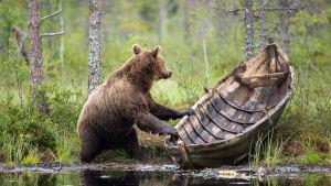 En björn som håller i en gammal roddbåt i trä, vid ett vattenbryn i en grön skog. Bilden är vinnare i kategorin Naturen och människan i tävlingen Årets naturbild 2016.
