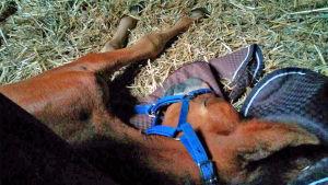 Första natten utan mamma sov fölet Calle på mammans hästtäcke.